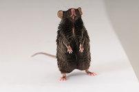 Farewell, FATZO: a NASH mouse update