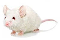 The COVID-19 Race: how mouse models will help researchers cross the finish line