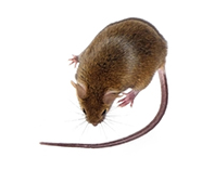 Brown mouse, PDX mouse model