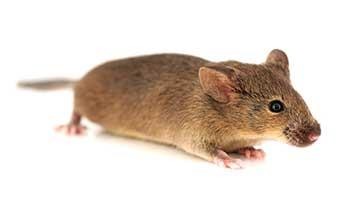 129S6 Inbred Mouse Model