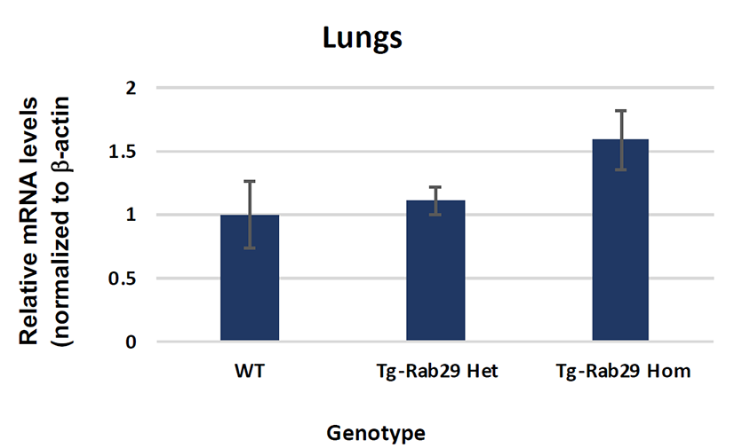 Analysis of Rab29 mRNA levels in Rab29 Overexpression Mouse: Lungs