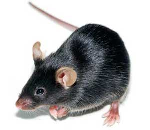 ApoE Constitutive Knock Out Mouse Model