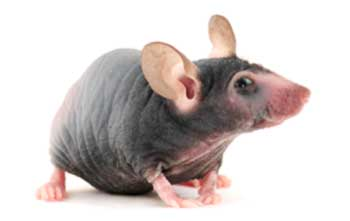 B6 nude Spontaneous Mutant Mouse Model