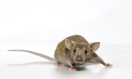 c3h inbred mouse model