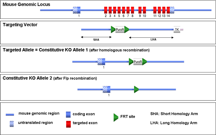 Constitutive Knock Out Allele