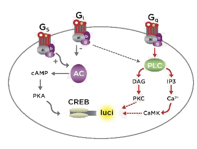 How CRE-Luc Works