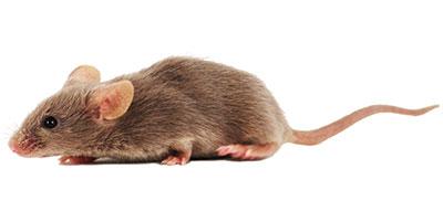 DBA/1 Inbred Mouse Model