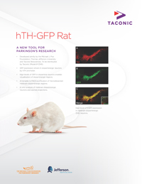 hTH-GFP rat
