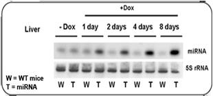 miRNA Blot Analysis