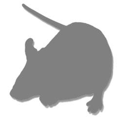 Rag2/OT-II Constitutive Knockout/Random Transgenic Mouse Model