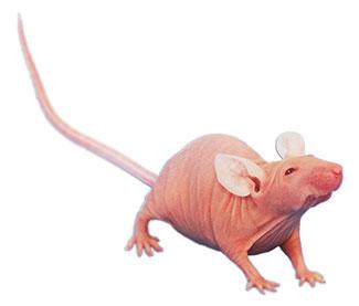 NCr nude Spontaneous Mutant Mouse Model
