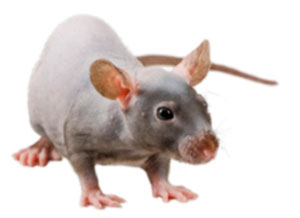 NIH nude Spontaneous Mutant Rat Model