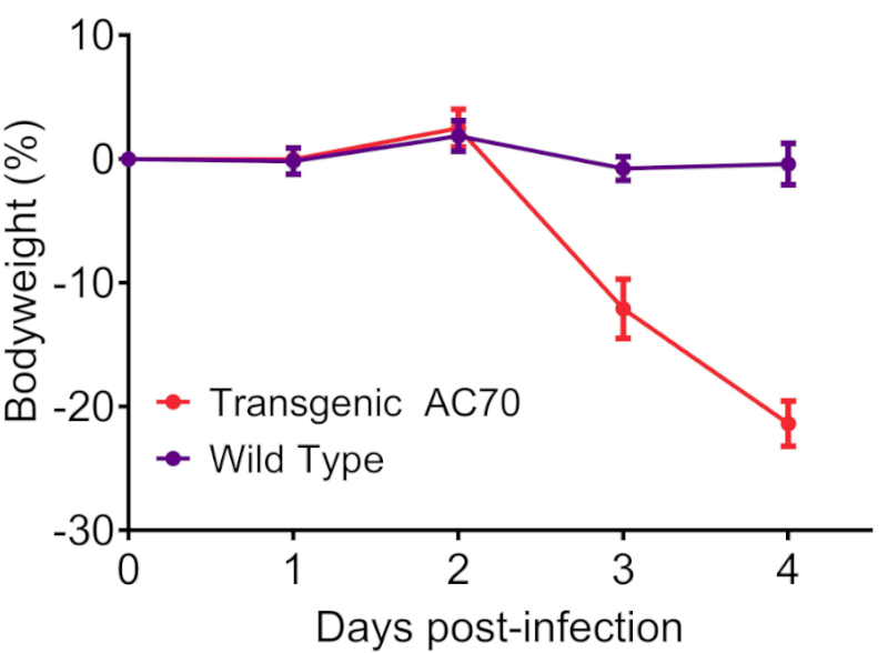 SARS-CoV-2 provokes lethal infection in hACE2 AC70 mice