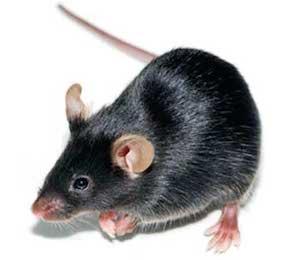 Rag2/OT-I Constitutive Knock Out/Random Transgenic Mouse Model