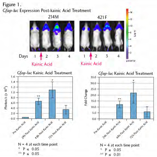 Gfap-luc Expression Post-kainic Acid Treatment