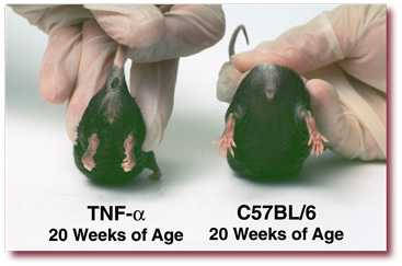 TNF-α at 20 weeks