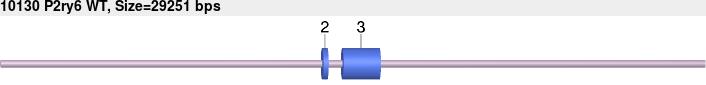 10130wt-allele.png
