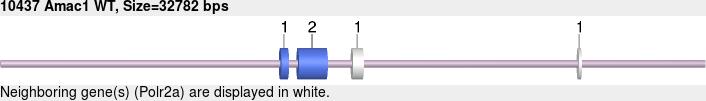 10437wt-allele.png