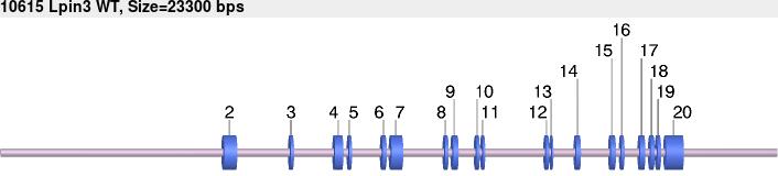 10615wt-allele.png