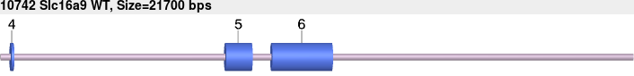 10742wt-allele.png