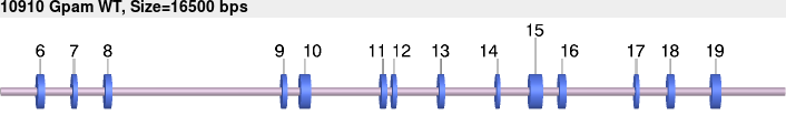 10910wt-allele.png