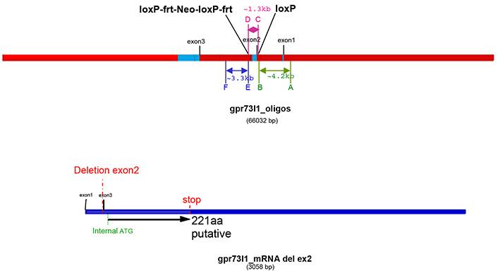 13776-Prokr2_cKO-allele_diagram.jpg