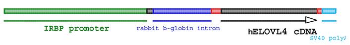 13778_13780-hElovl4_tg-allele_diagram.jpg