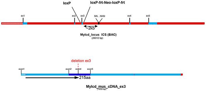 13794-Mlycd_cKO-allele_diagram.jpg