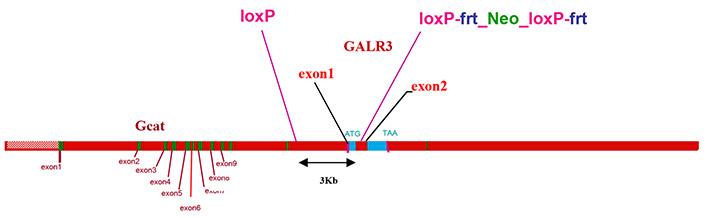 13802-Galr3_cKO-allele_diagram.jpg