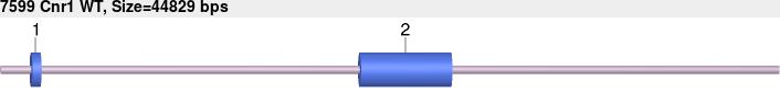 7599wt-allele.png