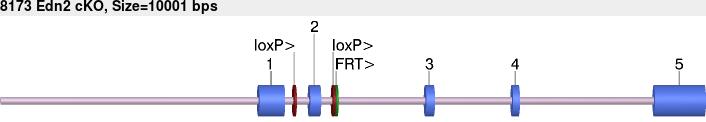 8173cko-allele.png