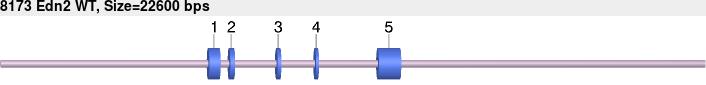 8173wt-allele.png