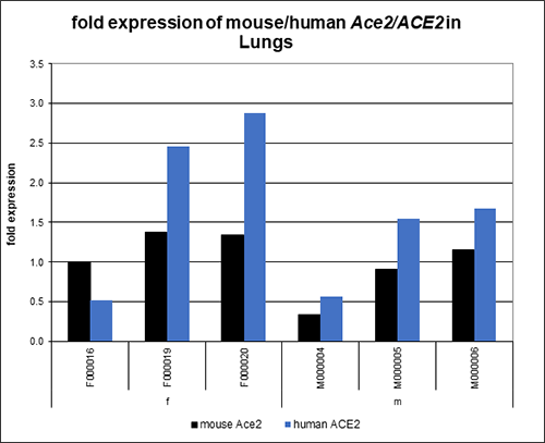 Chart shows hACE2 AC22 mice generally express higher levels of human ACE2 mRNA in the lung compared to mouse Ace2 mRNA