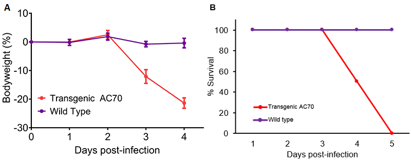 SARS-CoV-2 infection of human ACE2 transgenic AC70 mice resulted in an acute onset of disease and mortality. Human ACE2 transgene-positive (Transgenic AC70) and -negative (Wild type) littermates from the AC70 line were infected intranasally with 10 to the power of 6 TCID50 of SARS-CoV-2 (US_WA-1/2020). Challenged mice were monitored daily for weight loss (% ± SEM) (A) and accumulated mortality (B). Personal communication, Kent Tseng, UTMB.