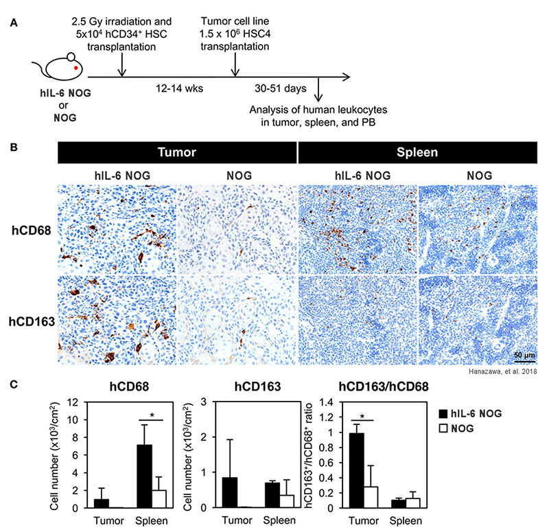 Development of human tumor-associated macrophages (TAMs) in tumor-engrafted humanized hIL-6 NOG mice