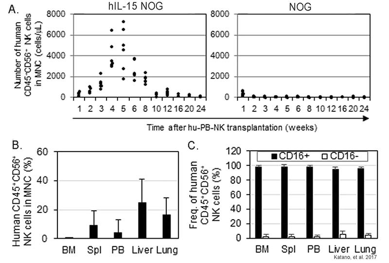 Distribution of long-term engrafting human NK cells in hIL-15 transgenic NOG