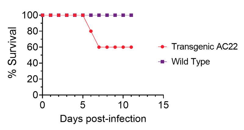 hACE2 AC22 provides a lethality-resistant model for SARS-CoV-2 infection
