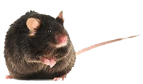 photo from C57BL/6 DIO 101: Best Practices for Diet Induced Obesity in Mice