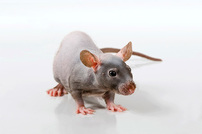 photo from Care of Immunodeficient Mice and Rats