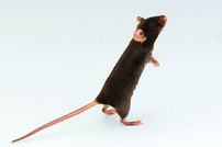 photo from Are Dirty Mice Superior Immunology Models?