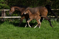photo from Mice with Horse Microbiota Validate Health Promoting Diet for Foals