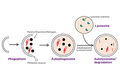 Modelling Autophagy in Cellular Processes