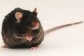 Webinar Q&A — The Diet Induced NASH B6: A Translational NASH Model for Drug Discovery