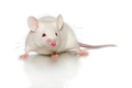 Mouse-adapted SARS-CoV-2 strains unlock broader mouse modeling of COVID-19