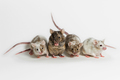 Generation of Genetically Engineered Mouse Models that are Susceptible to Human Viruses