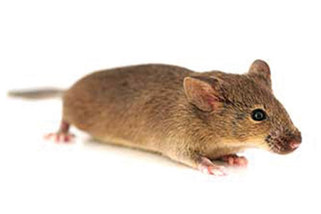 Webinar Recap: Historical Control Database of Spontaneous Lesions in Tg.rasH2 Mice