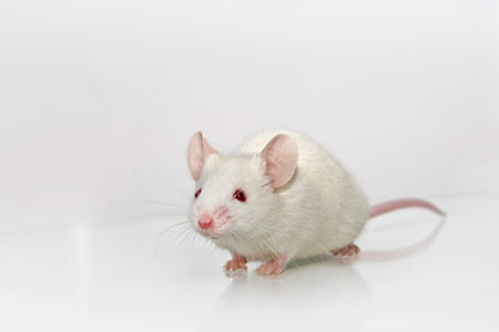 Albino Mouse
