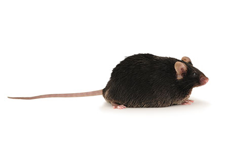 Webinar Q&A — Using Diet-Induced Obese Mice to Study Metabolic Disease