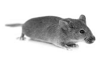 rasH2 Mouse Model