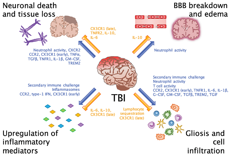 Emerging Roles for the Immune System in Traumatic Brain Injury